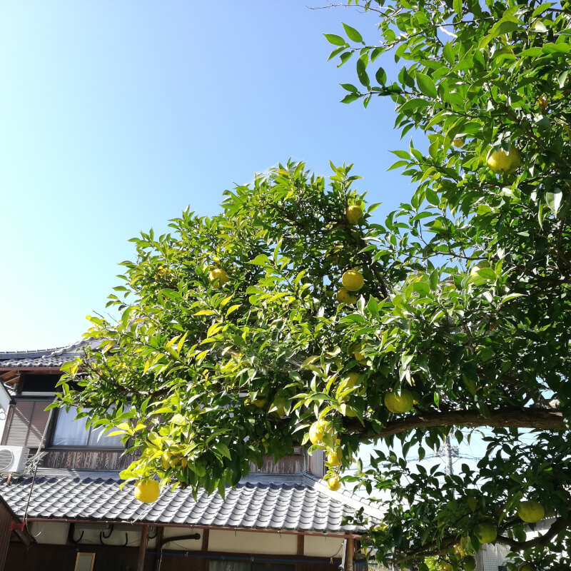 Harvesting naturally grown Yuzu and making Yuzu tea in the countryside of Kyoto