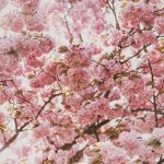 2019年韓国の桜の開花予想~ソウルで桜の見頃はいつ?~